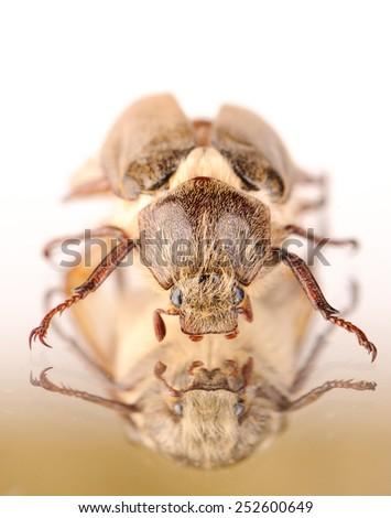 one dor-beetle - stock photo