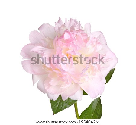 One double flower with water droplets, stem and leaf of pink and white peony (Paeonia lactiflora) cultivar Raspberry Sundae isolated against a white background - stock photo