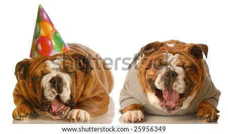 one english bulldog laughing at another groaning wearing a silly birthday hat
