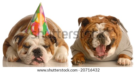 one english bulldog laughing at another wearing a silly birthday hat - stock photo