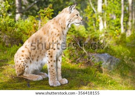 One eurasian lynx sitting in the green forest - stock photo