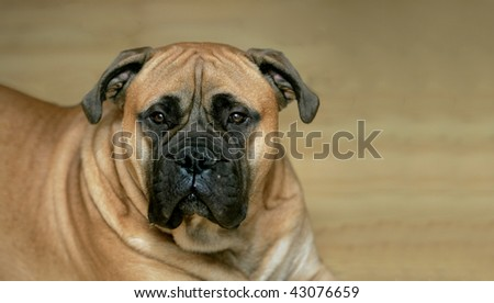 one fawn colored bull mastiff dog laying down with copyspace - stock photo