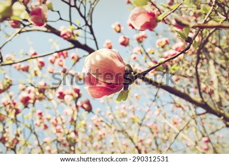 One flower of magnolia tree in blooming garden - stock photo