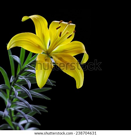 One flower of yellow lily close-up and on the black background isolated - stock photo
