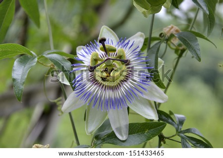 one flower Passiflora on a green background - stock photo