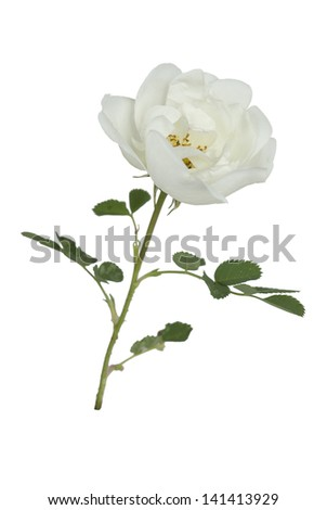 one flower white wild rose on a white background