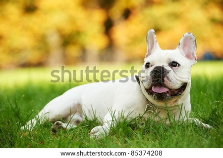one french bulldog dog lying on green grass at autumn background - stock photo