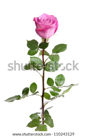 One fresh pink rose  isolated on a white background - stock photo