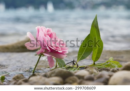 one fresh rose at the lake shore, beach with pebble stones - stock photo