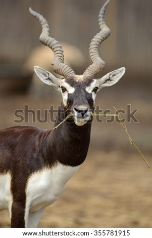 One Gazelle Antelope Eating Grass