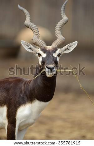 One Gazelle Antelope Eating Grass  - stock photo