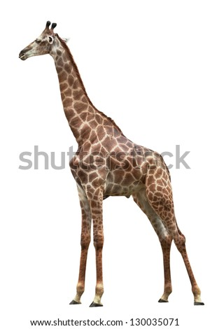 one giraffe is isolated on white background - stock photo