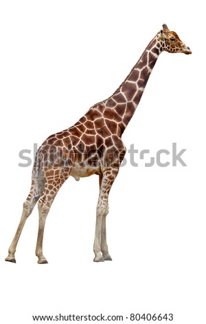 one giraffe isolated on white background