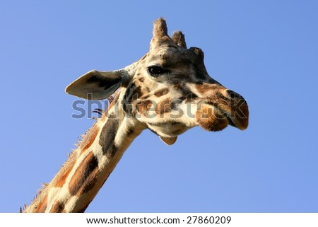 One giraffe neck and head over blue sunny sky - stock photo