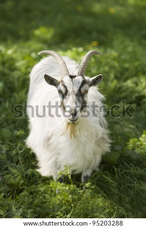 One Goat with selective focus - stock photo