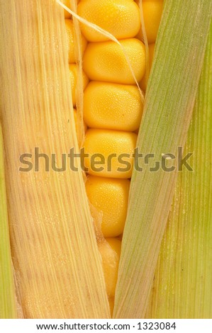 One golden corn on cob closeup, macro, slightly opened, and fresh. Can be used in healthy food concept, or as ingredients for cooking. Golden colour is appealing. - stock photo