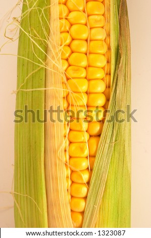 One golden corn on cob on white/light background, slightly opened, and fresh. Can be used in healthy food concept, or as ingredients for cooking. Golden colour is appealing. - stock photo