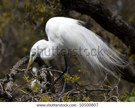 One Great Egret (Ardea alba) sitting in a tree during nesting season - stock photo