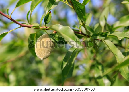 One green fluffy big ripe almond
