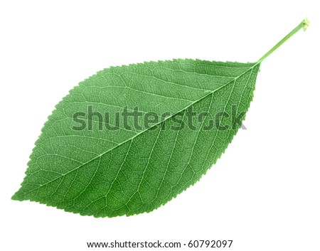 One green leaf isolated on white background. Close-up. Studio photography.