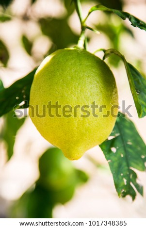 one green young big fresh unripe lemon grow on tree