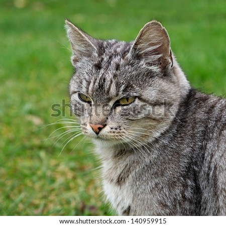 One grey big cat sitting and looking in open air in green background in village,grey cat  outside,animal close up,cat isolated in green background in the village, looking right, defocus - stock photo