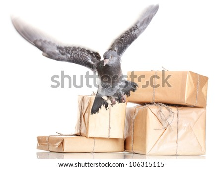 One grey messenger-pigeon and parcels isolated on white - stock photo