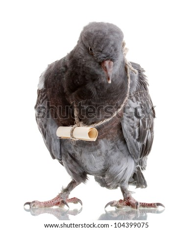 Messenger Pigeon With Letter On A Mountain Road Royalty Free Stock ...
