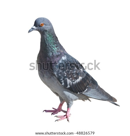 One grey pigeon isolated on white background - stock photo