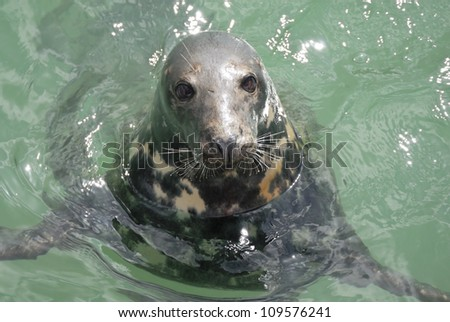One Grey Seal looking. Located Newquay, Cornwall, UK. - stock photo