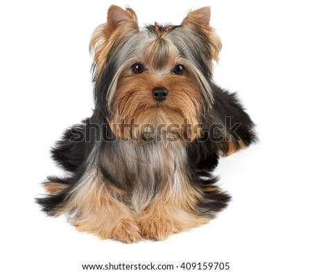 One groomed Yorkshire Terrier isolated on white - stock photo