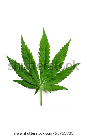 One hemp (marijuana) leaf isolated on white. - stock photo