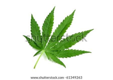 One hemp (marijuana) leaf isolated on white, diagonal view. - stock photo