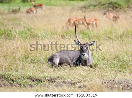 one horned waterbuck lying in the grass, grazing impalas in the background - national park masai mara in kenya - stock photo