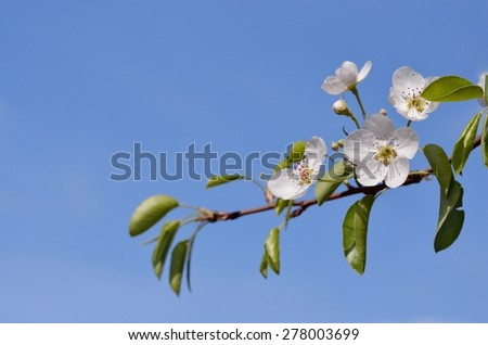 One isolated blossoming pear tree branch with green leaves and white flowers on the blue sky background, closeup. Horizontal format with space for text. - stock photo
