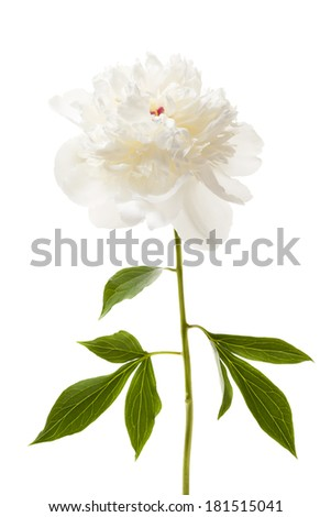 One isolated white peony flower with stem and leaves - stock photo