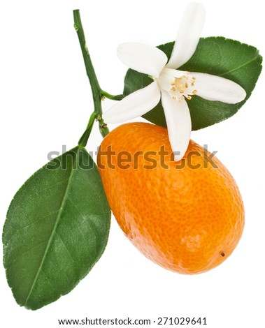 one kumquat citrus fruit flowering close up isolated on white background - stock photo