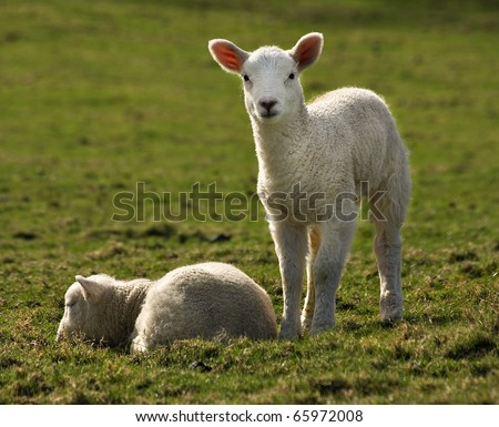 one lamb sleeps while the other lamb stays watchful in the evening - stock photo