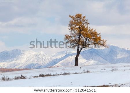 One larch on a ski slope. Natural background. Landscape. - stock photo