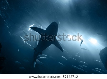 one large grey shark underwater seen from below silhouetted against bright lights - stock photo