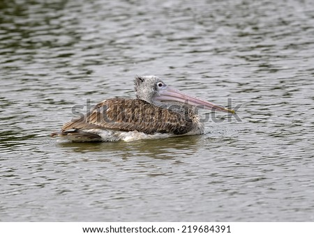 One large spot-billed pelican swimming at a local pond  - stock photo