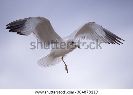 One-Legged Seagull in Flight