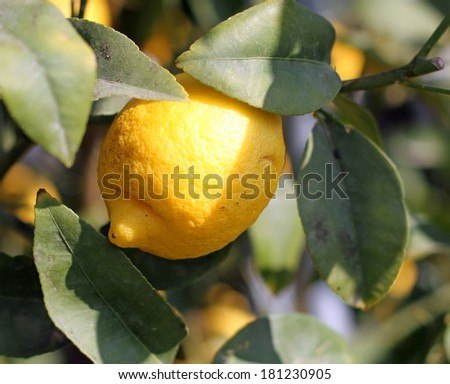 One lemon from Sicily hanging from a tree - stock photo