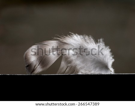 one little feather of the bird on dark background