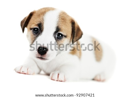 one little jack russel terrier dog puppy of one month on white background - stock photo