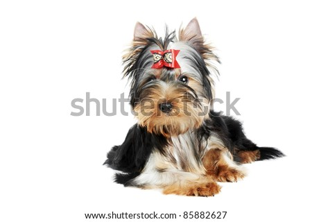 One little Yorkshire Terrier (3 month) puppy dog isolated over white background - stock photo