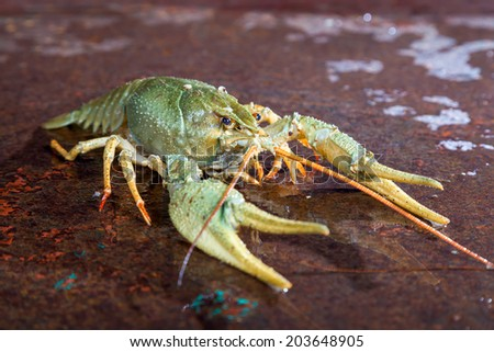 One live crayfish on a metal surface - stock photo