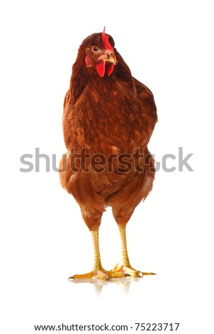 One live hen isolated on white background - stock photo