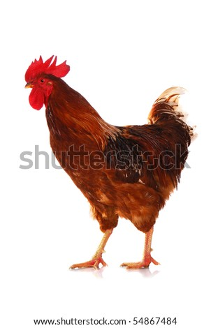 One live rooster isolated on white background