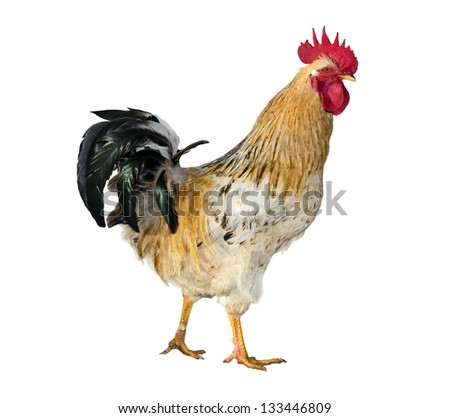 One live young rooster  isolated on  white background. - stock photo